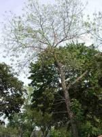 LUTTE CONTRE L'AGRILE DU FRÊNE La Ville de Carignan invite les citoyens à abattre leur frêne malade ou mort avant le 15 mars prochain